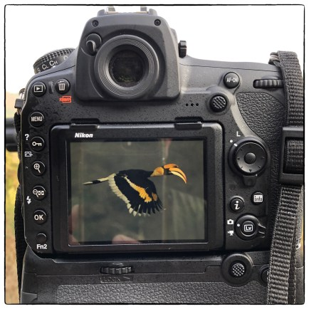 Great Pied Hornbill (Buceros bicornis) in the viewfinder but at considerable distance and after Lenny had retreated back to the tea stall for breakfast. (April 2019).