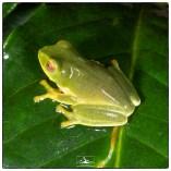 Jayaram's Bush Frog (Raorchestes jayarami) photographed at the Pudhuthottam Annex with assistance from Dharani Hariharan. (June 2019)