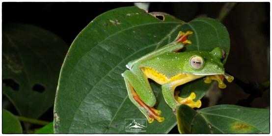 Malabar Gliding Frog (Rhacophorus malabaricus) photographed at Eldhose's home.