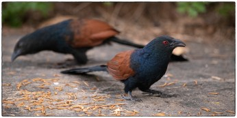 Male & female Greater Coucals (Centropus sinensis)at KV Eldhose's in Thattekad.