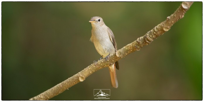 """Rusty-tailed Flycatcher (Muscicapa ruficauda) or more likely the brown-breasted flycatcher (Muscicapa muttui) at Thattekad. Photographed at KV Eldhose's """"flycatcher hide"""" in December."""