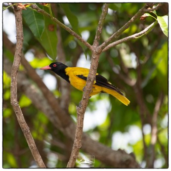 Black-hooded oriole (Oriolus xanthornus) in a Mangifera indica tree by our house.