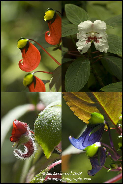 Endemic Impatiens (jerdoniae, monroenii, violescens and hookeriam) all with restricted ranges in the Southern Western Ghats (with hookeriam also found in Sri Lanka). Photographed with gratitude at the Vatakanal Conservation Trust.
