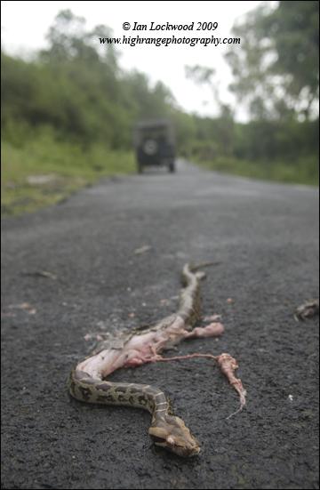 Baby python (Python molurus) that had been run over at the foot of the Masinigudi ghat road, Nilgiri Hills.