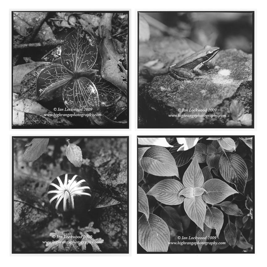 Anoechtochilus elatus, a small ground orchid (Blackburn Shola, Palni Hills). Rana_Temporalis at (Gurukula Botanical Sanctuary, Wayanad). Strobilanthes sp. (Vattacanal Conservation Trust, Palni Hills). Pill millipede (Gurukula Botanical Sanctuary, Wayanad).