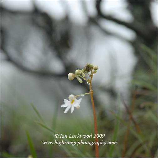 Impatines clavicornia at Bangitapal, Nilgiri Hills