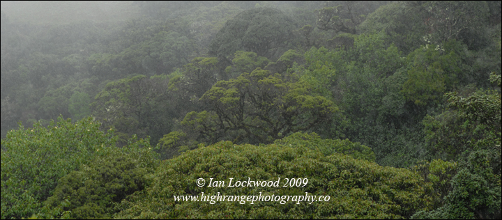 Shola canopy amidst pouring rain on the way to Bangitapal.