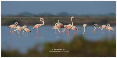Greater flamingos at Vankalai Bird Sanctuary.