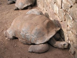 Mauritian Giant Tortoise ...like...so old!