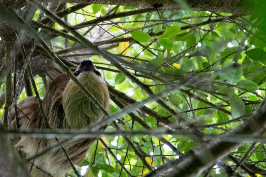Seen another sloth on Bastimentos Island in Bocas del Toro, Panama