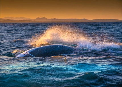 Humpback-Whales-2016Brunswick-Heads-NSW-185-17x24