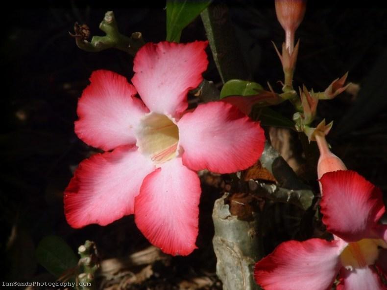 Pink desert rose flower photo