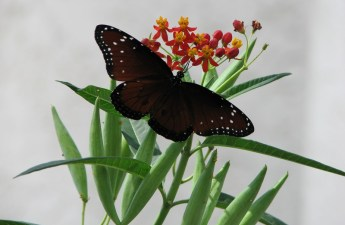 Queen butterfly on milkweed photo