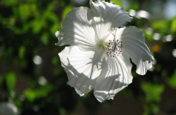 White hibiscus flower photography