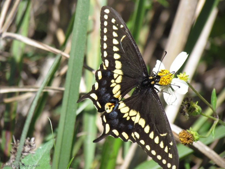 Black Swallowtail butterfly at okaloacoochee slough state forest