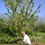 pruning_cox_cymraeg_stepovers