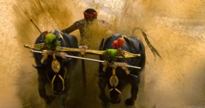 kambala race facts and analysis