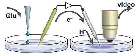 Un neurone artificiel simulant les fonctions d'un neurone biologique - glu