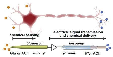 Un neurone artificiel simulant les fonctions d'un neurone biologique - neuron