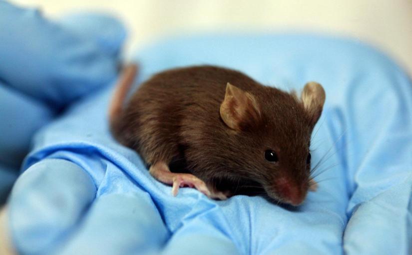 La thérapie génique rétablit la vision chez des souris aveugles