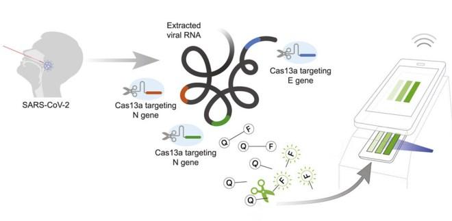 test coronavirus à partir d'un écouvillon nasal CRISPR ARN