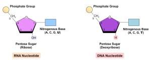 Nucleotides | BioNinja