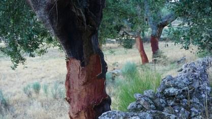 Alcornoques... los árboles