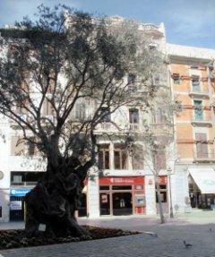 Olivera a la Plaça de Cort de Palma