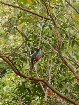 Cuban trogon, national bird of Cuba