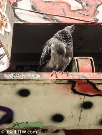 Pigeon on Rue Dénoyez