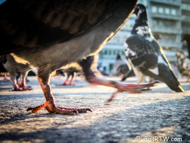 Pigeons in Syntagma Square
