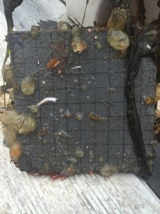 Molgula manhattensis, Bugula neritina, spiorbid worms