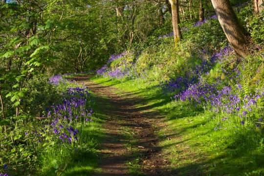April - Bluebells in the Malverns