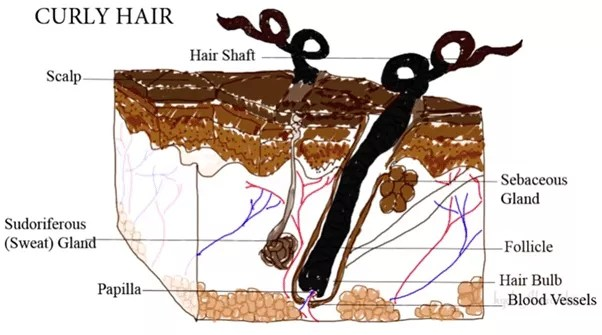 Why Hair Becoming Curly With Age-03