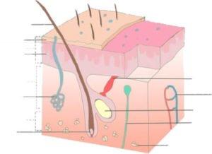 aging skin anatomy