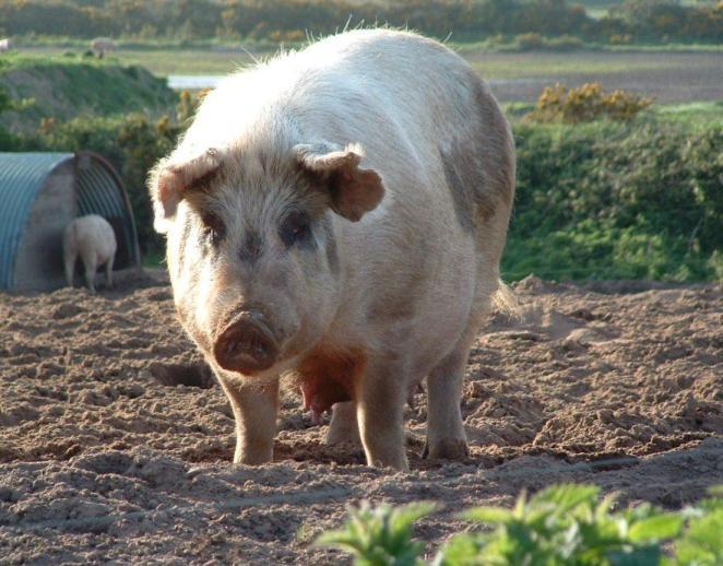 pigs1