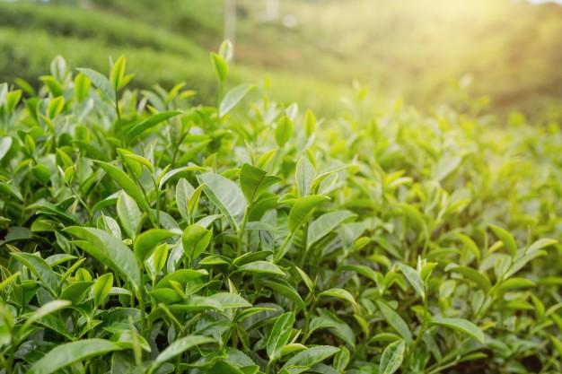 طرق استعمال زيت الشاي الأخضر للوجه الدهني