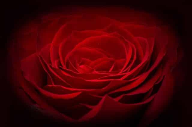 rose-266611_640