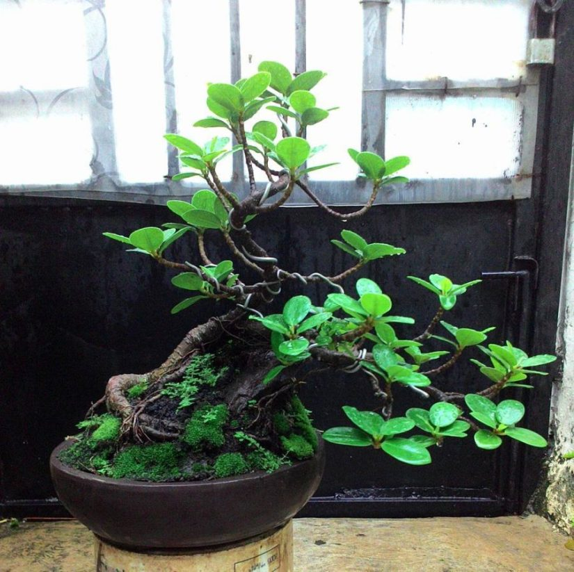 bonsai beringin korea