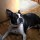 Brody The 44 Pound Boston Terrier Is A Big, Sweet Boy