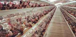Uniben, Unigold sign MoU to establish 50m per annum poultry facility