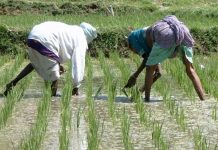 Anchor Borrowers' Programme: 1,165 rice farmers in Ogun receives farm inputs
