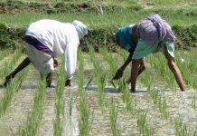 AFAN starts planting of rice, seeks more investors