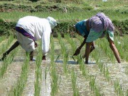 NGO begins disbursement of fertiliser to 700 farmers in Kaduna
