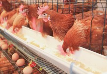 Poultry industry to shut down by January — PAN