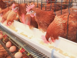 '10% of Nigerians in poultry business to lose jobs in 2021'