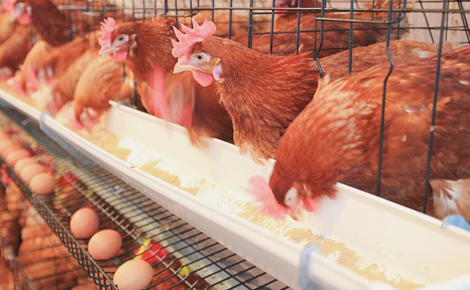 Nigerian poultry farmer tasks FGon massive cultivation of Maize