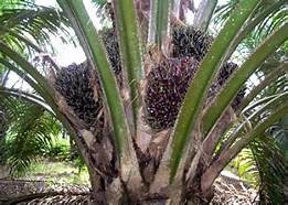Image result for palm oil production