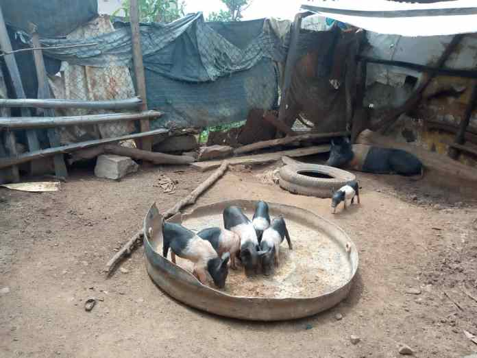 Pork Meat: Farmer seeks FG, others support to meet national demand