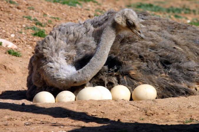 The-Ostrich-lays-the-largest-eggs